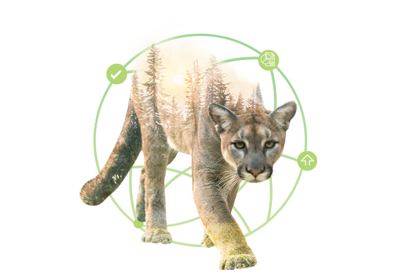 chilean-cougar